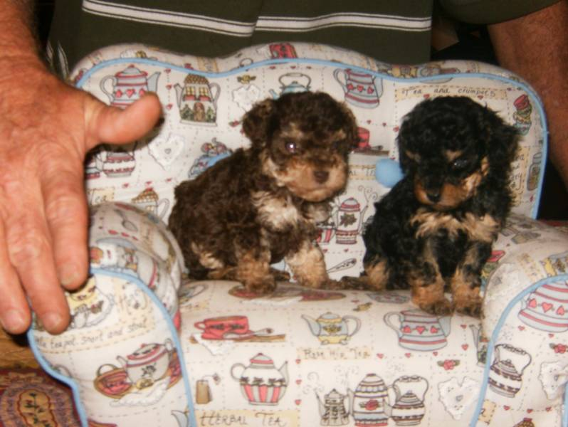 Janeys Tiny Toy Poodles Teacup Poodles